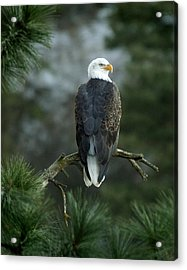 Bald Eagle In Tree Acrylic Print
