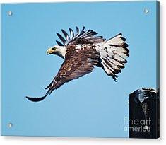 Bald Eagle In Ucluelet Acrylic Print