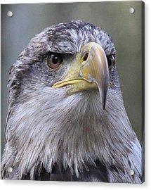Bald Eagle - Juvenile Acrylic Print