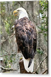 Bald Eagle Acrylic Print by Lisa Williams