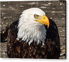 Bald Eagle Looking At You Acrylic Print