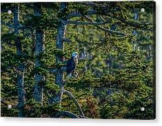 Bald Eagle Majesty Acrylic Print
