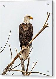 Bald Eagle On A Branch Acrylic Print