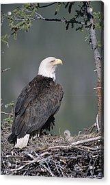 Bald Eagle On Nest With Chick Alaska Acrylic Print