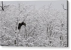 Acrylic Print featuring the pyrography Bald Eagle On The Creek Flying. by Timothy Latta