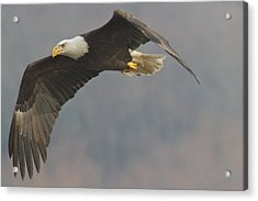 Bald Eagle On The Wing Acrylic Print by Stanley Klein
