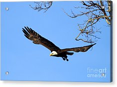 Bald Eagle Out Of The Tree Acrylic Print by Darrin Aldridge