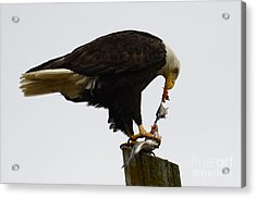 Bald Eagle Part Of Nature Acrylic Print by Bob Christopher