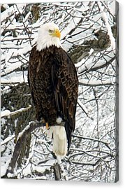 Acrylic Print featuring the photograph Bald Eagle by Penny Meyers