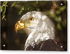 Bald Eagle Portrait  Acrylic Print