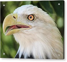 Acrylic Print featuring the photograph American Bald Eagle Portrait - Bright Eye by Patti Deters
