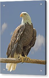 Bald Eagle Portrait Acrylic Print