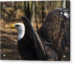 Bald Eagle Preparing For Flight Acrylic Print by Chris Flees