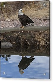 Bald Eagle Reflection Acrylic Print by Perspective Imagery