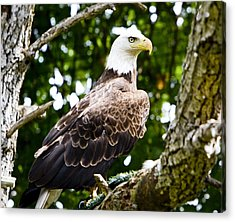 Acrylic Print featuring the photograph Bald Eagle by Ricky L Jones