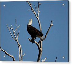 Bald Eagle Talking Acrylic Print