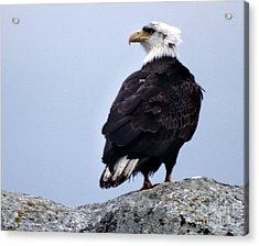 Bald Eagle Watching Acrylic Print