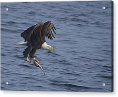 Bald Eagle With A Fish Acrylic Print