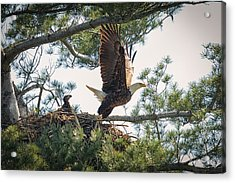 Bald Eagle With Eaglet Acrylic Print by Everet Regal