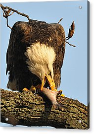 Bald Eagle With Fish 2 Acrylic Print by Angel Cher