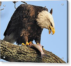 Bald Eagle With Fish Acrylic Print by Angel Cher