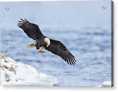 Bald Eagle With Prey Acrylic Print by Daniel Behm