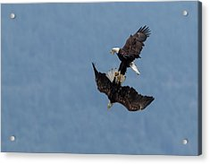 Bald Eagles Fighting Acrylic Print