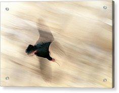 Bald Ibis Acrylic Print