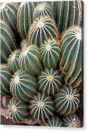 Ball Cactus (parodia Magnifica) Acrylic Print by Daniel Sambraus/science Photo Library