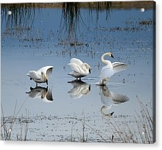 Dance Of The Trumpeters Acrylic Print
