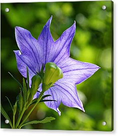 Balloon Flower - Magic Of Light Acrylic Print by Nikolyn McDonald