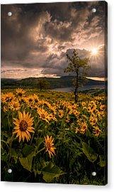 Balsamroot Heaven Acrylic Print