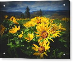 Balsamroot Of The Gorge Acrylic Print