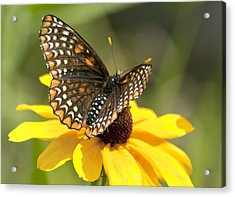 Baltimore Checkerspot And Black-eyed Susan Acrylic Print