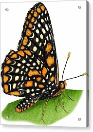 Baltimore Checkerspot Butterfly Acrylic Print