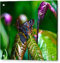 Baltimore Checkerspot On Poison Ivy Acrylic Print