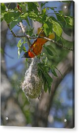 Baltimore Oriole And Nest Acrylic Print by Jill Bell