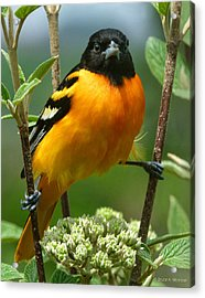 Baltimore Oriole Acrylic Print by Bruce Morrison