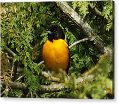 Baltimore Oriole Delight Acrylic Print by Brenda Brown