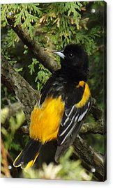 Baltimore Oriole Heres Looking Atcha Acrylic Print by Brenda Brown