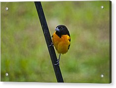 Baltimore Oriole On Pole Acrylic Print by Shelly Gunderson