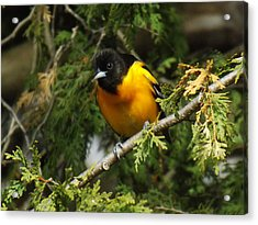 Baltimore Oriole Surprise Acrylic Print by Brenda Brown