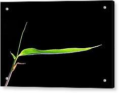 Bamboo (bambusa Sp.) Shoot Acrylic Print
