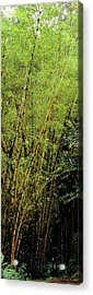 Bamboo Trees In A Forest, Akaka Falls Acrylic Print by Panoramic Images