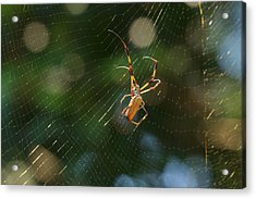 Banana Spider In Web Acrylic Print
