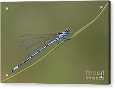 Banded Agrion Damselfly Acrylic Print by Frank Derer