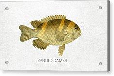 Banded Damsel Acrylic Print