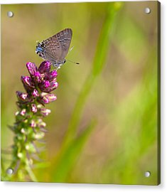 Banded Hairstreak Butterfly Acrylic Print by Melinda Fawver