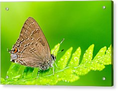 Banded Hairstreak Butterfly Acrylic Print