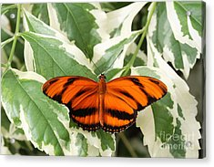 Banded Orange Longwing Butterfly Acrylic Print by Judy Whitton